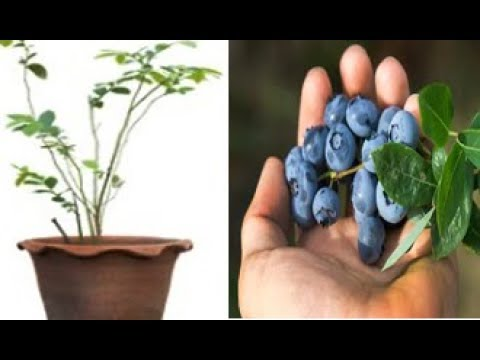 How to grow Limitless blueberries in your backyard