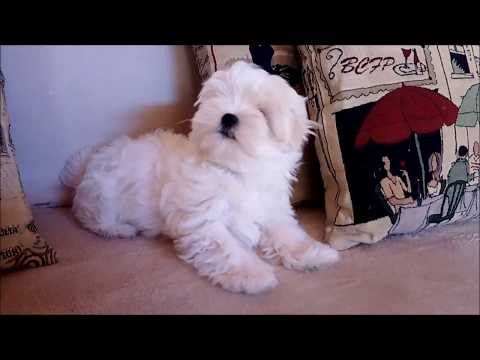 #maltese #puppies #dogs #christmas #spirit My name is Spirit, Christmas Spirit...