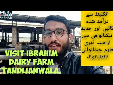 Visit imported cows dairy farm Tandlianwala | #dairy #farming #business in Pakistan | cow farming
