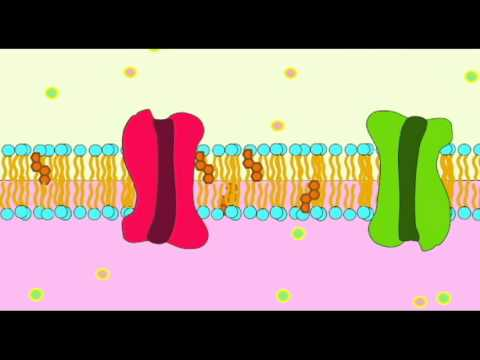 AP1: CELL MEMBRANE: PROTEIN CHANNELS - YouTube