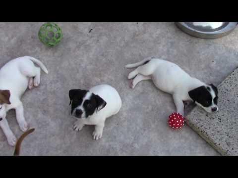 Rescue pups - Corgi, beagle, small dog mix
