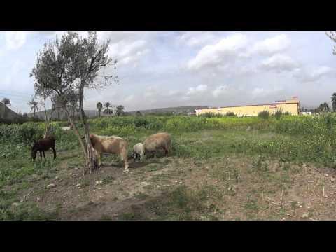 A donkey, sheep and goats in Magdala (City of Mary Magdalene), Sea of Galilee, Israel