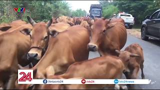 """""""Con đường trâu bò"""" ở Đắk Lắk - Tin Tức VTV24"""
