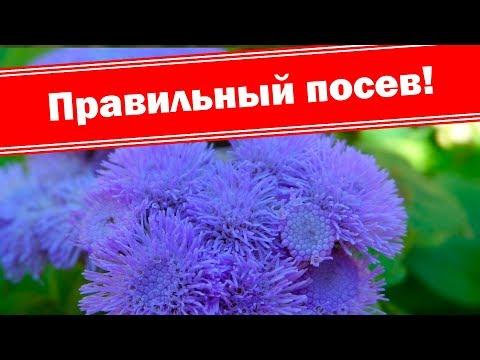 Посев агератума из семян. Выращиваем очень красивый цветок