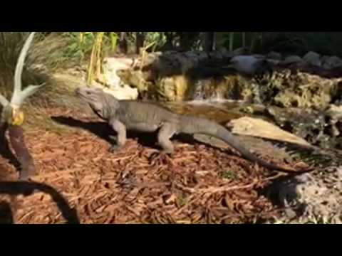 Fly River Update with RHINO IGUANA Hanging By The Pond
