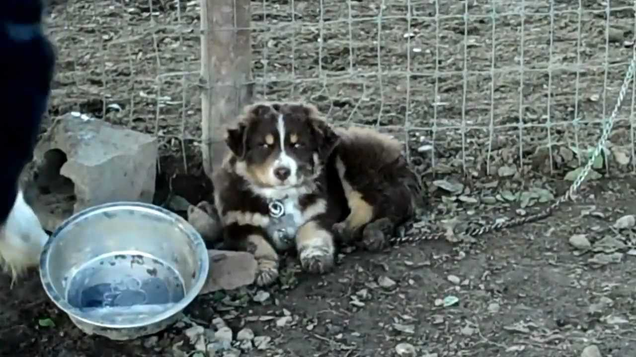 Border collie australian shepherd puppy and bc and aussie puppy