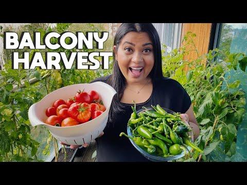 MY FIRST BALCONY GARDEN VEGETABLE HARVEST   Massive harvest from my garden in London