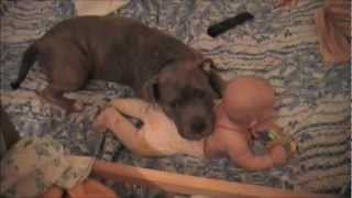 Стафф и ребёнок / American Staffordshire and Baby