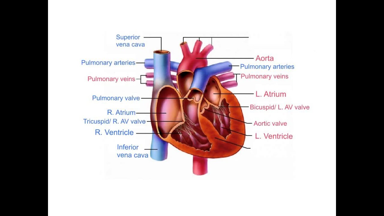Heart Anatomy and Blood Flow - YouTube