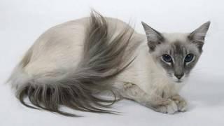 видео Характер сиамской кошки