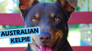 Australian Kelpie  TOP 10 Interesting Facts