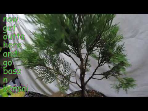 old gold juniper bonsai tree how to styling with initial pruning no Wiring Juniper Bonsai on