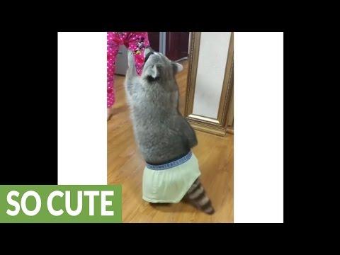 Raccoon wears owner's underwear