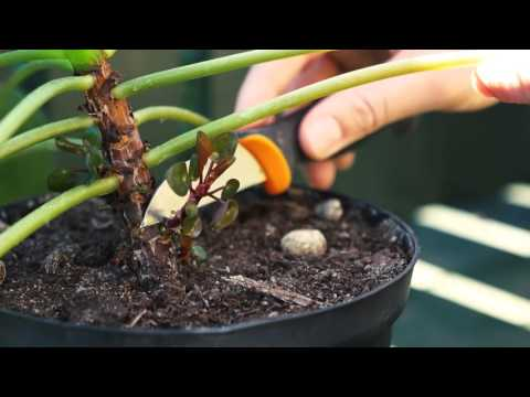 How to take a Pilea Peperomioides cutting