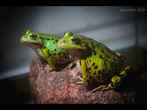 Прудовые лягушки: высадка в пруд и содержание в террариуме.