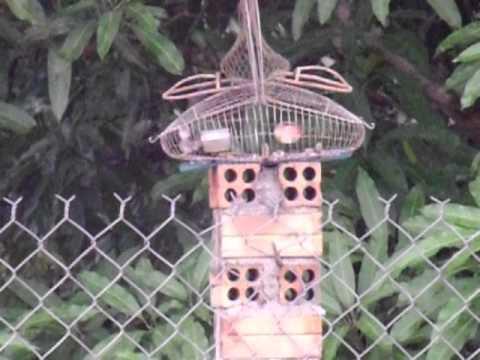 bẫy chim sâu đầu đỏ (Trường Vũ)