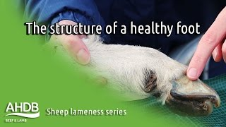 The structure of a healthy foot - Sheep Lameness series