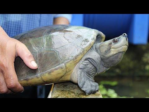أول إباضة لسلاحف ملكية في الأسر في كمبوديا  - نشر قبل 24 دقيقة