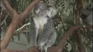 Beagle Rough Cut: Koalas