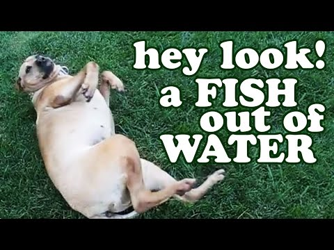 Dog Doing Fish Out Of Water – Funny Dogs Pictures Stupid Videos Hilarious Animals DogsCircle Jazevox