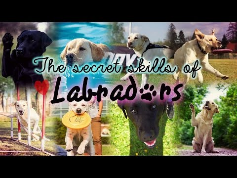 The secret skills of Labradors ♡ FULL DOG MEP