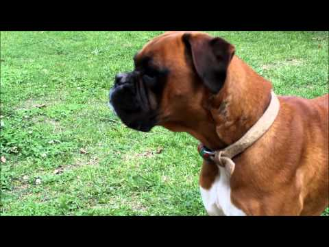 Boxer Dog Bark