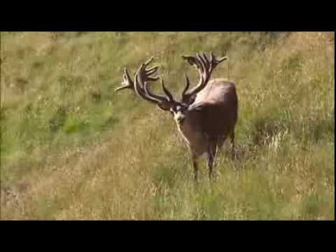 Big Red Stag