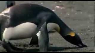 пингвины обидели тюленя