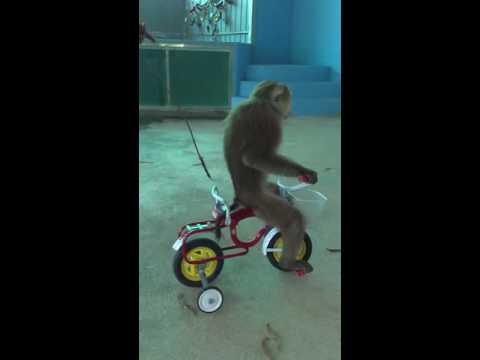Amazing monkey tricks, cycling