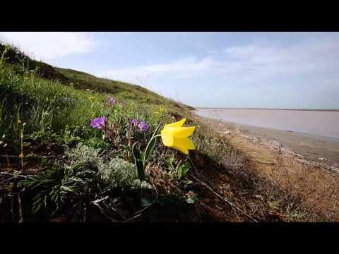 Дикий тюльпан Шренка в Крыму
