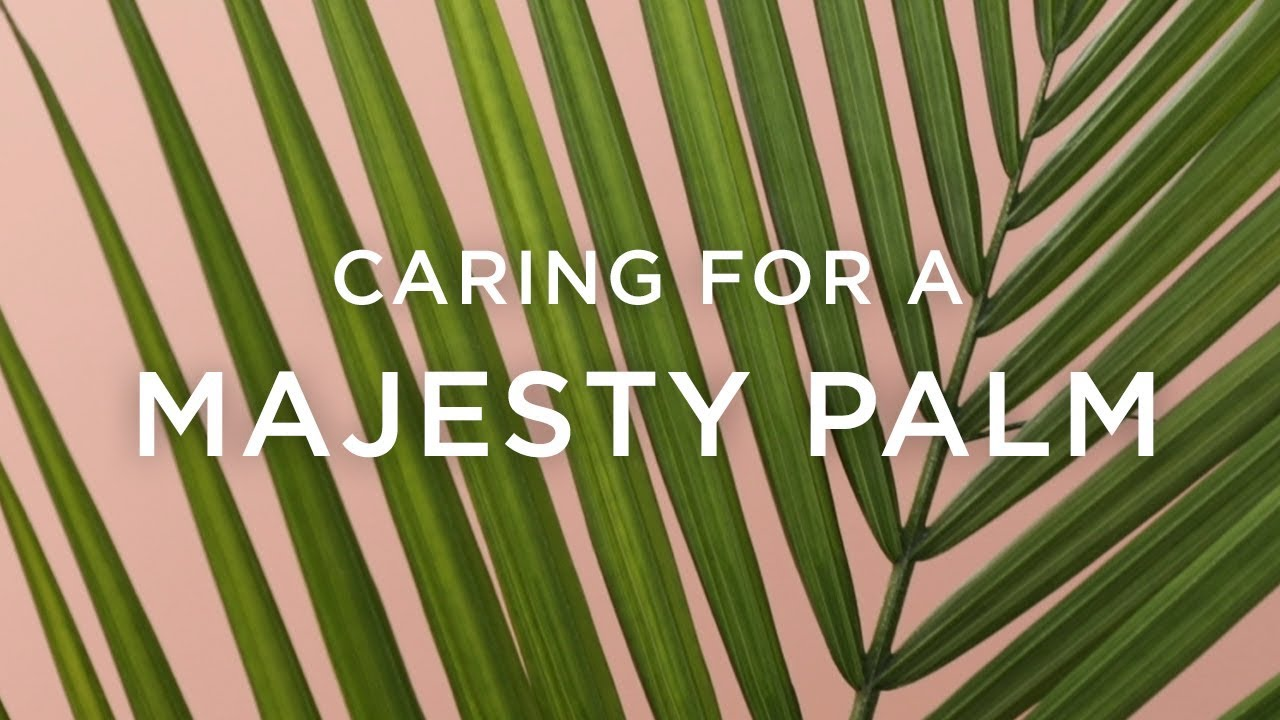 How To Care For A Majesty Palm Youtube