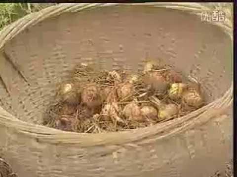 آشنایی با کشت گلخانه ای زعفران Youtube