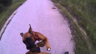Boxer gets sprayed in the face by a skunk!