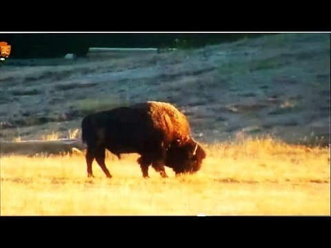 Bison Comes out Before Humans Arrive! {HD) LiveCam 8AM Upper Basin Yellowstone National Park!