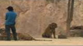 Tiger Temple/ Aggressive Tigers - 3