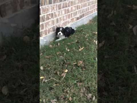 Cavalier King Charles Spaniel Puppy Is Ready For Adoption!!
