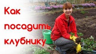Как посадить клубнику осенью. Разведение клубники