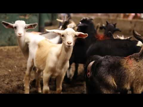 TLP Columbia Sheep and Goat Sale Overview