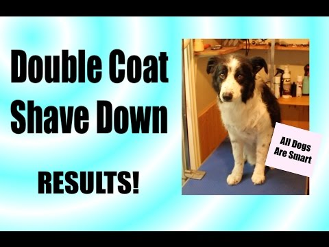What Happens To A Double Coat When You Shave Your Dog