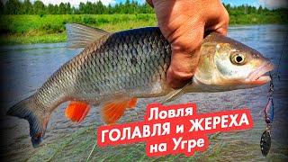Ловля ГОЛАВЛЯ и ЖЕРЕХА на Угре Рыбалка на спиннинг