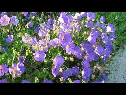 Как правильно посадить колокольчики: семенами и  корнем