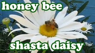Honey Bee Bees Honeybees Pollination Shasta Daisy Flower Daisys Pollen Flowers Perennial Perennials