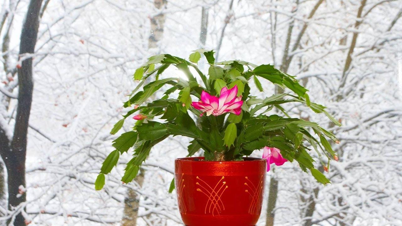 Зимние болезни комнатных растений. На заметку цветоводу!