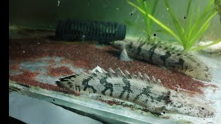 Polypterus Endlicheri Feeding