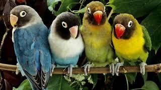 Голоса птиц как поют попугаи Неразлучники Agapornis