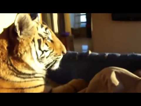 un homme dort dans un lit avec son animal de compagnie un tigre youtube. Black Bedroom Furniture Sets. Home Design Ideas