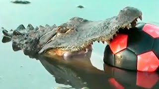 Alligator soccer player! Funny jokes that make you laugh jokes to tell friends, Happy Head