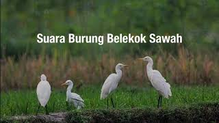 Download Mp3 Master Suara Burung Belekok Sawah Hd