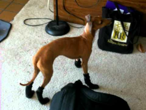 Italian Greyhound Boots Handstand