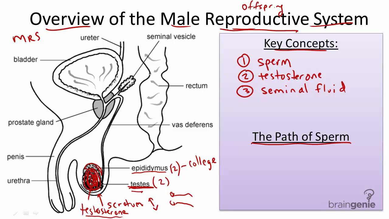 8.10.1 The Male Reproductive System - YouTube